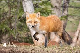 red fox family dynamics the canid