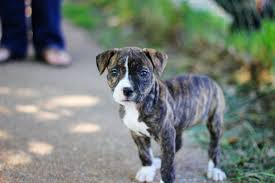 pitbull boxer terrier mix wallpapers