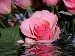 اجمل ورود العالم احلى انواع الورود فى العالم عيون الرومانسية