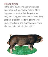 Pig farming - Poland China | Facebook