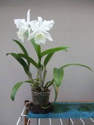 PlantFiles Pictures: Orchid, Cattleya Wendy Patterson (Cattleya) by Phylite