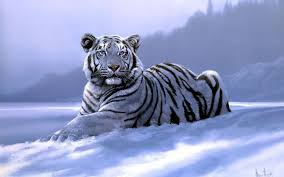free white tiger backgrounds