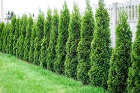 10 Best Privacy Trees For Your Backyard Tall Trees For Privacy In Your Yard
