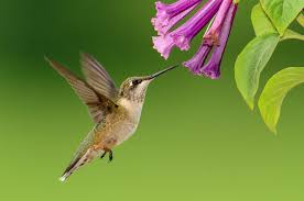 plants that attract hummingbirds the