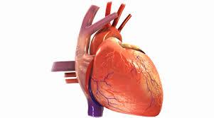 Image result for سلامت قلب