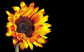 sunflower photography black background