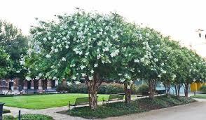 Pack of 6 Natchez White Flowering Crape Myrtle Trees | Etsy
