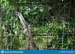 Green Leaves Of A Climbing Plant Wild Grapes Vine Trunk Blue Metal Fence Fence Of Chain Link Stock Photo Image Of Cottage Garden 134597918