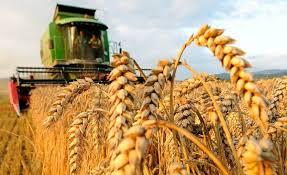 صور مزارع القمح , روعة حقول الذهب الاصفر - صوري