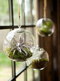 air plants caring and styling giving
