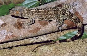 Blaesodactylus ambonihazo Bauer, Glaw, Gehring & Vences, 2011, sp ...