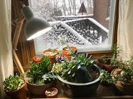Как да приспим сукулентите, кактуси и сукуленти през зимата, приспиване на кактуси и сукуленти, зимуване на кактуси и сукуленти, сукуленти на закрито, подходящи помещения, подходяща температура, подходяща светлина, как да поливаме кактуси и сукуленти през зимата, лампи с лед за сукуленти