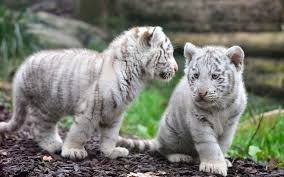 white tigers tiger baby s