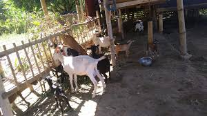 Nueva Ecija Goat For Slaughter And Dairy Sale Home Facebook