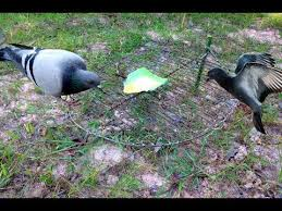 bird snare trap the best pigeon traps