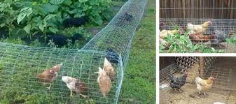 Diy Chicken Tunnel Step By Step Guide Ask A Prepper