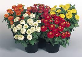 zinnia flower seeds india