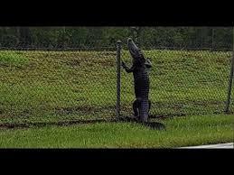 Gator Climbing Fence Youtube