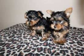 micro teacup toy yorkie puppies