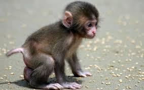 77 monkey backgrounds on wallpapersafari