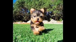 eve the teacup yorkshire terrier puppy
