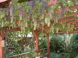 Grape How To Build A Trellis For Grape Vines
