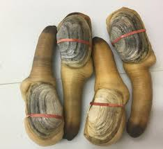 Wild Live Geoduck Clams - Buy Live ...