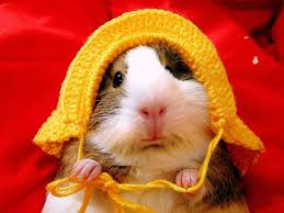 guinea pig hd wallpapers backgrounds