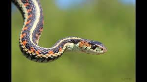 garter snake care sheet
