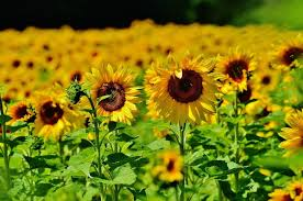how to grow sunflowers new england today