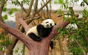 hd wallpaper baby panda panda bear
