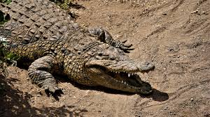Image result for crocodile