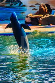 cute irrawaddy dolphin orcaella