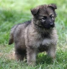 german shepherd puppies long coat