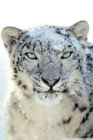 snow leopard ultra hd desktop