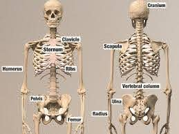 Educational Human Skeleton Wall Stickers Did You Know You Are Born With Over 270 Bones But As You Grow O Educational Wall Decals Human Skeleton Wall Stickers