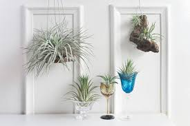 how to decorate with air plants well good