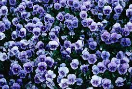 annuals for part shade howstuffworks