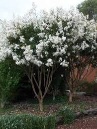 Natchez Crepe Myrtle | Mr. Jack's Farm | Myrtle tree, Crape myrtle ...