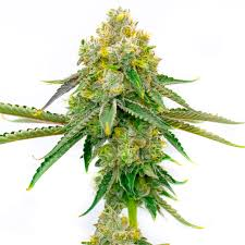 Buy Amnesia Haze Autoflower Marijuana Seeds | HMG Original