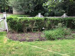 How To Restore Boxwoods That Are Thin On Bottom Gardening