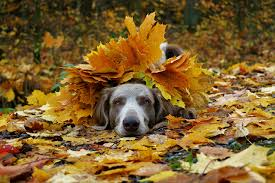 Images Weimaraner Dogs Foliage Autumn animal