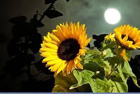 820x462px   free download   HD wallpaper: sun flower, moon, sky ...