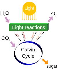 photosynthesis wikiwand