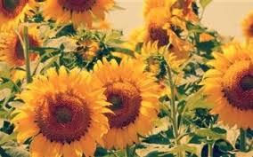 sunflower wallpaper macbook air
