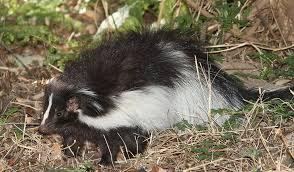 Wildlife Control CT: Skunk, Raccoon & Squirrel Removal Services