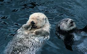 sea otter wallpapers wallpaper cave