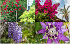 climbing plants for a stunning pergola