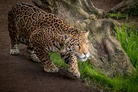 jaguar hd wallpaper background image