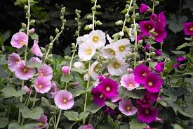 planting caring for hollyhock flowers